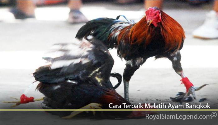 Cara Terbaik Melatih Ayam Bangkok