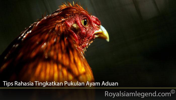 Tips Rahasia Tingkatkan Pukulan Ayam Aduan
