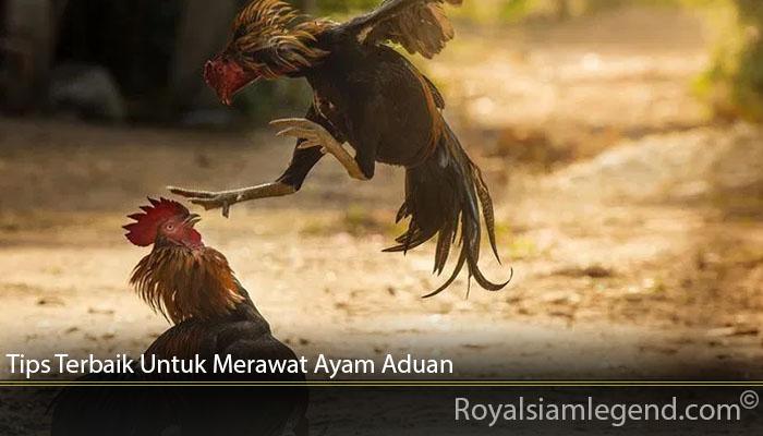 Tips Terbaik Untuk Merawat Ayam Aduan